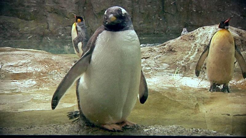 Zoom eröffnet neue Pinguinanlage (Foto: SAT.1 NRW)