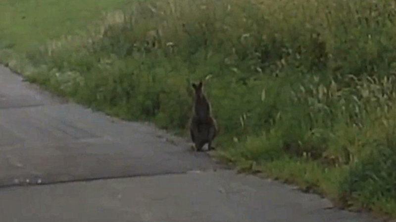 Känguru hält Sauerland auf Trab (Foto: Manfred Bergers)