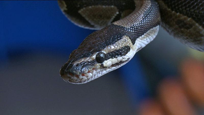 Lebender Python in Müll geworfen (Foto: SAT.1 NRW)