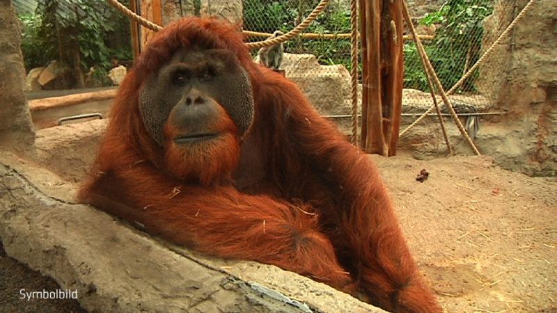 Neues zum Duisburger Orang-Utan Ausbruch (Foto: SAT.1 NRW)