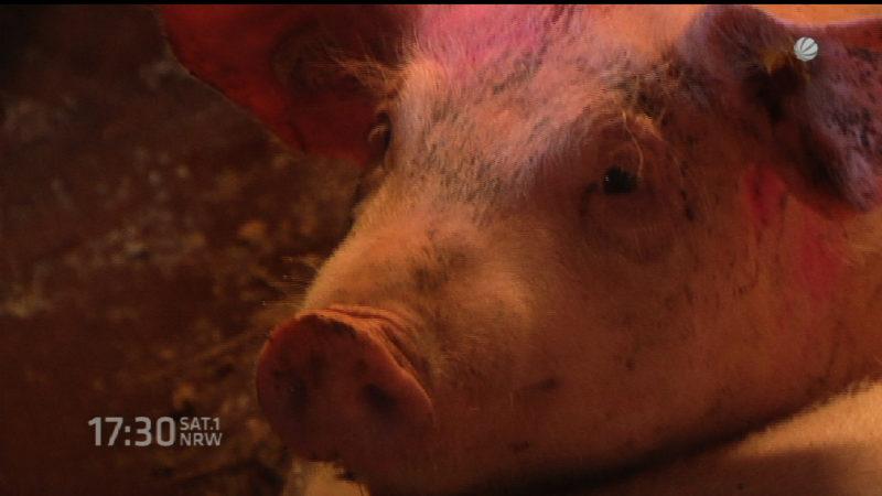 Schweine dürfen Schwanz behalten (Foto: SAT.1 NRW)