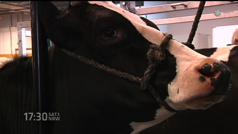 Schönste Kuh in NRW (Foto: SAT.1 NRW)