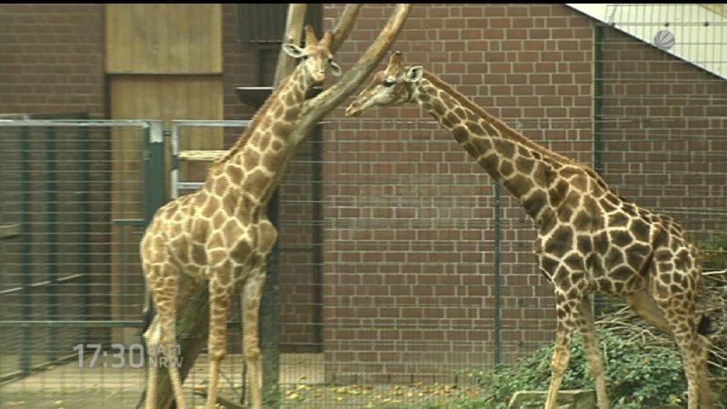 Dortmunder Giraffe bei Transport gestorben (Foto: SAT.1 NRW)