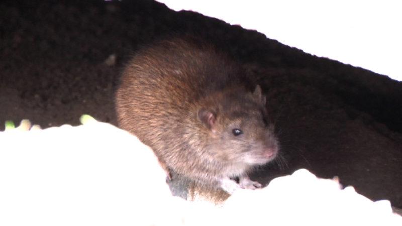 Rattenplage in Wuppertal (Foto: SAT.1 NRW)