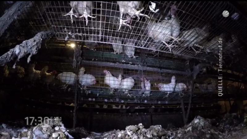 Illegale Hühnerfarm (Foto: SAT.1 NRW)