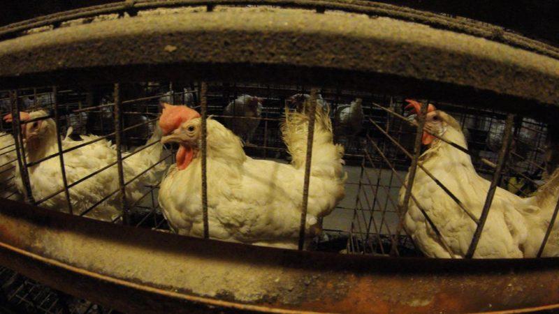 Tierschützer wollen Hühner retten (Foto: privat)