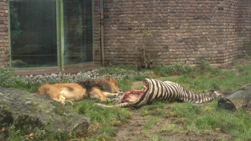 Schockbilder: Ganzes Zebra für Löwen (Foto: SAT.1 NRW)