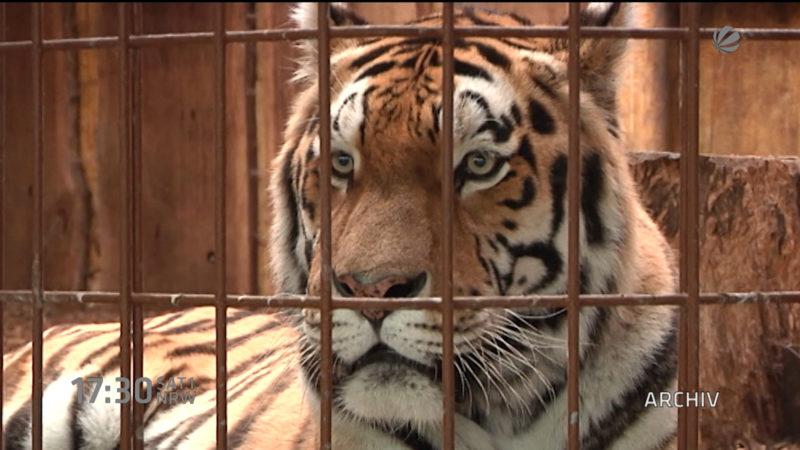Tiger eingeschläfert (Foto: SAT.1 NRW)