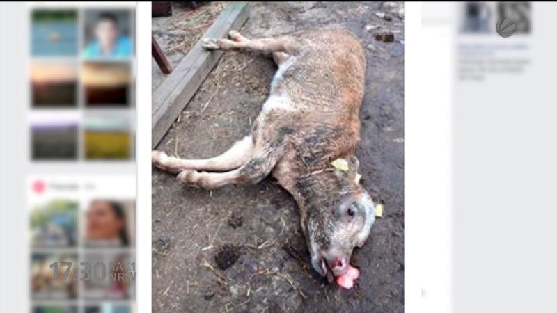 Hunde hetzen Kalb in den Tod (Foto: SAT.1 NRW)
