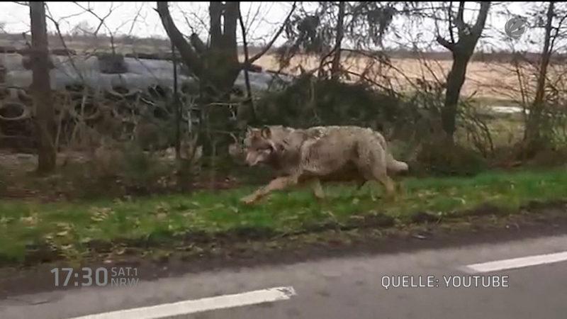 Wolf reißt drei Ziegen (Foto: SAT.1 NRW)