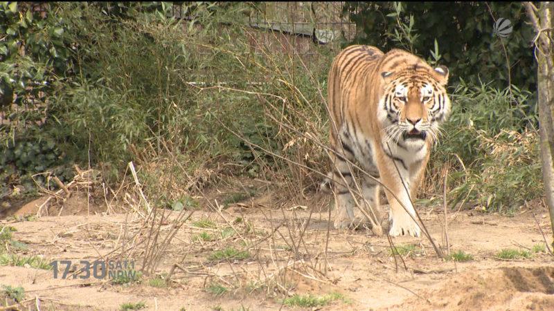 Neues Tigergehege in Duisburg (Foto: SAT.1 NRW)
