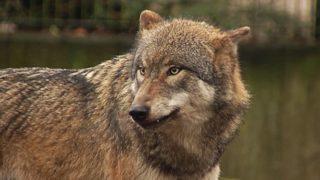 Ziegenherde von Wolf angegriffen (Foto: SAT.1 NRW)