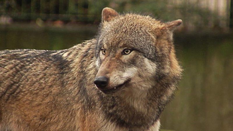 Wolf im Wohngebiet gesichtet? (Foto: SAT.1 NRW)