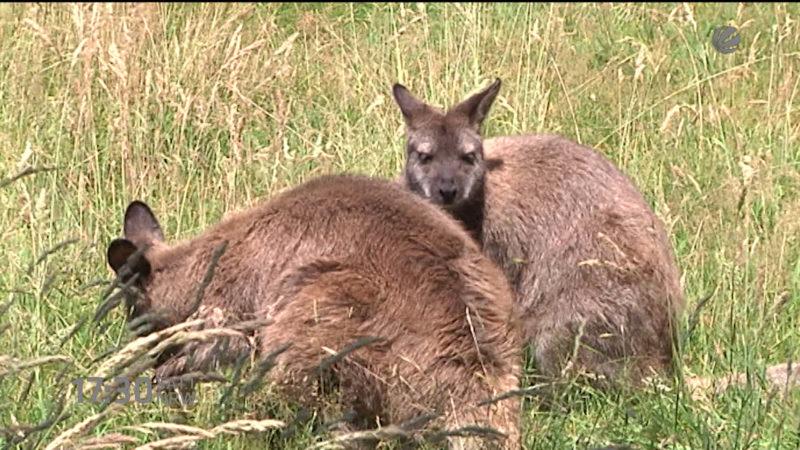 Känguru an Bushaltestelle (Foto: SAT.1 NRW)