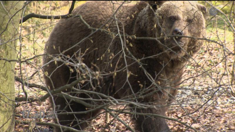 Braunbär erkundet Zoo (Wuppertal) (Foto: SAT.1 NRW)