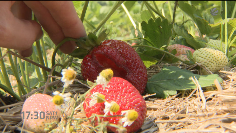 Verregnete Erdbeer-Ernte (Foto: SAT.1 NRW)