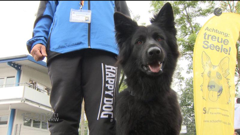 Schäferhunde zeigen ihr Können (Foto: SAT.1 NRW)
