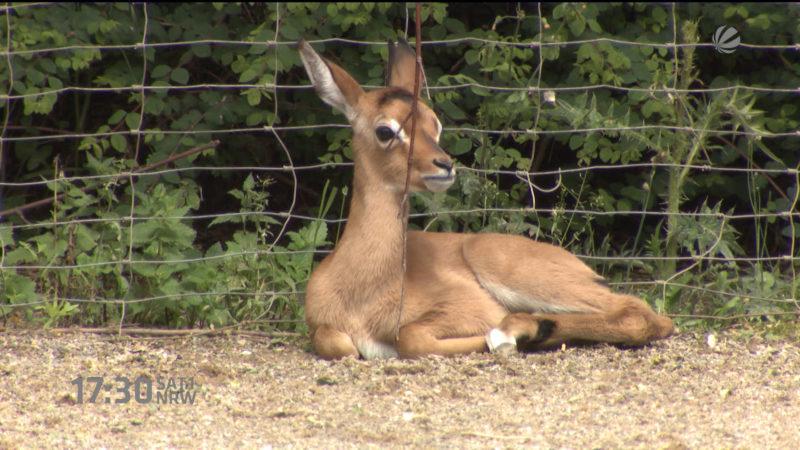 Impala-Baby im Kölner Zoo (Foto: SAT.1 NRW)