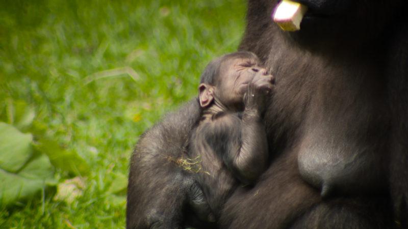 Gorilla-Baby (Foto: SAT.1 NRW)