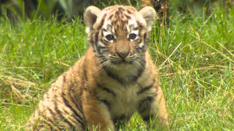 Tapsige Tigerbabys (Foto: SAT.1 NRW)