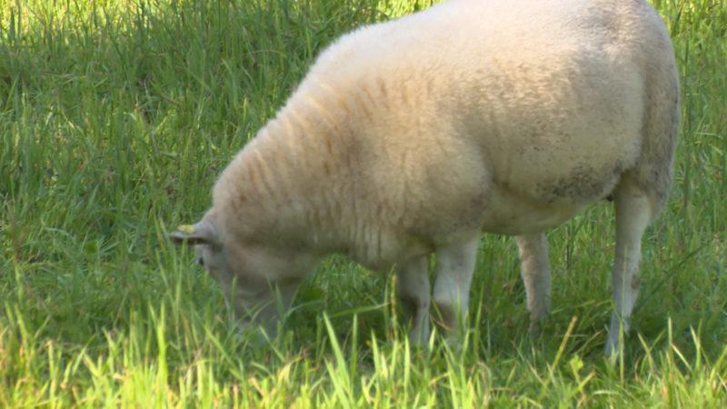 Schafsherde verirrt sich in den Garten (Foto: SAT.1 NRW)