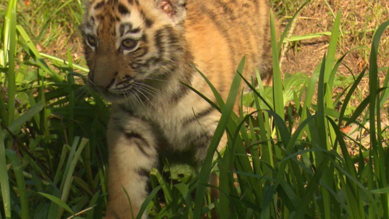 Namen für Tigerbabys (Foto: SAT.1 NRW)