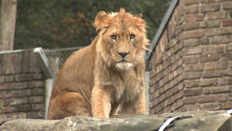 Der neue König der Löwen (Foto: SAT.1 NRW)