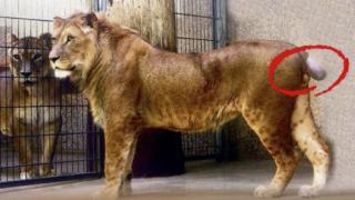 Löwe jetzt auch noch schwanzlos (Foto: SAT.1 NRW)