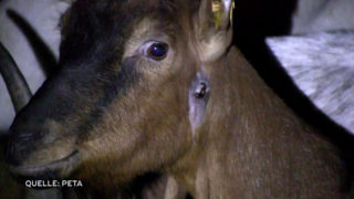 Ziegen werden auf Biohof gequält (Foto: PETA)