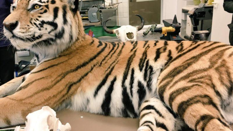 Ausgestopfter Tiger im Museum (Foto: SAT.1 NRW)