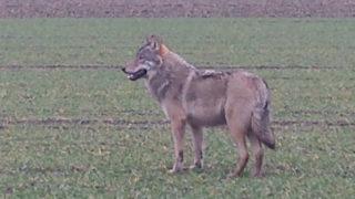 Wolf in NRW gesichtet (Foto: SAT.1 NRW)