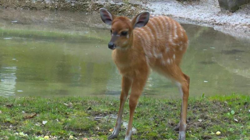 Neues Antilopenbaby im Kölner Zoo (Foto: SAT.1 NRW)