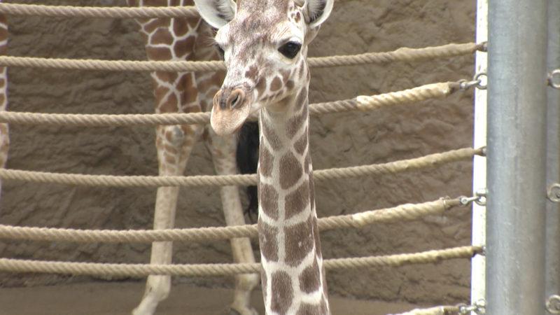 Giraffentaufe im Zoo Duisburg (Foto: SAT.1 NRW)