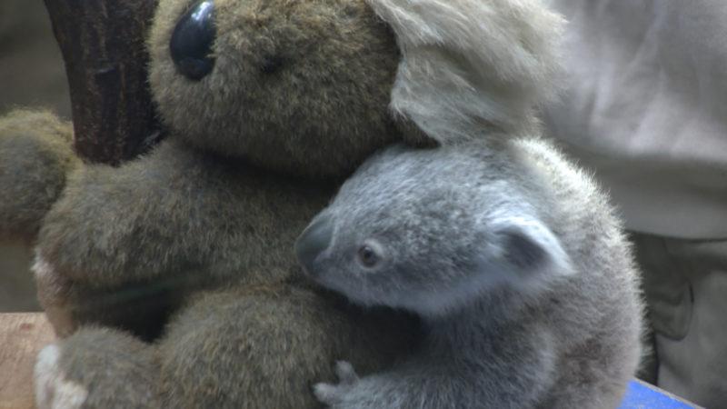 Koala-Jungtier vorgestellt (Foto: SAT.1 NRW)