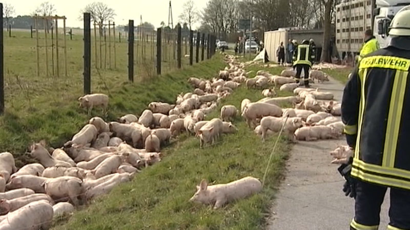 Schweineunfall in Kalkar (Foto: SAT.1 NRW)