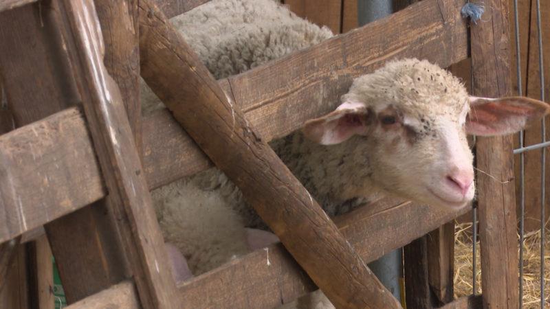 40 Schafe gestohlen (Foto: SAT.1 NRW)