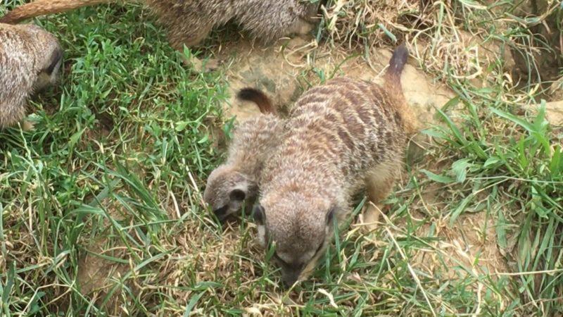 Baby-Erdmännchen (Foto: SAT.1 NRW)
