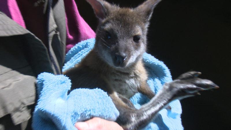 Känguru-Waisenkind im Rucksack on tour (Foto: SAT.1 NRW)