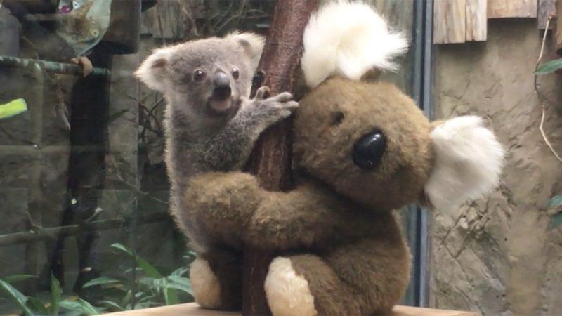 Süsse Koala-Babys im Zoo Duisburg (Foto: SAT.1 NRW)