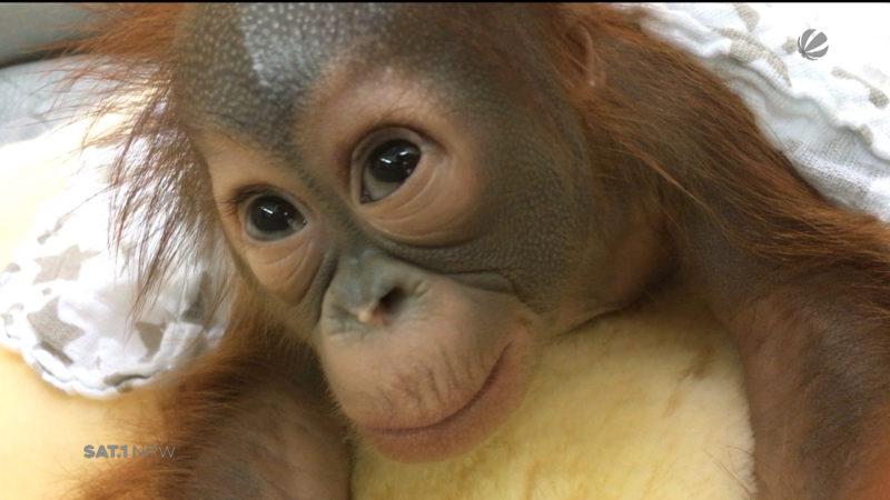 Pflegerin zieht Orang-Utan-Baby per Hand auf (Foto: SAT.1 NRW)