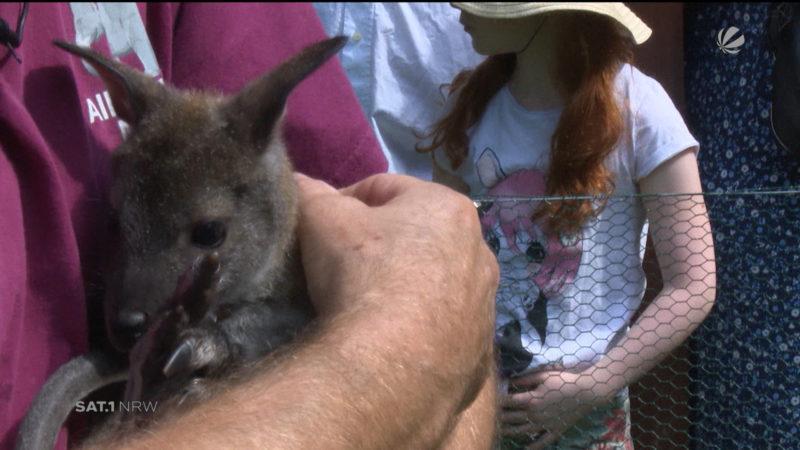 Känguru-Waisenkind hat einen Namen (Foto: SAT.1 NRW)
