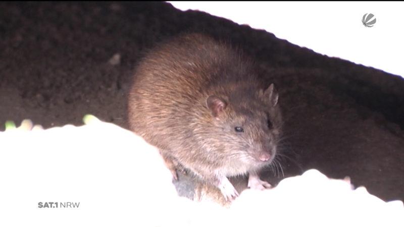 Rattenplage in NRW (Foto: SAT.1 NRW)