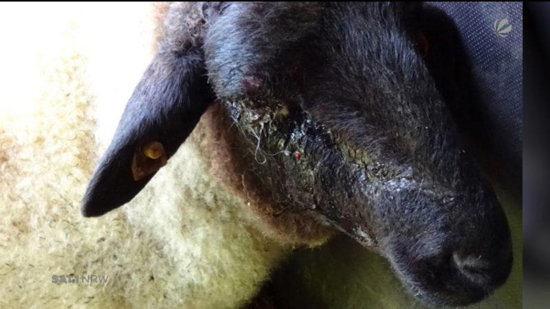 Schaf mit Latte geschlagen (Foto: SAT.1 NRW)