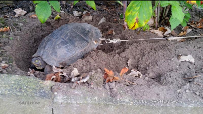 Besitzer legt Schildkröte an die Kette (Foto: SAT.1 NRW)