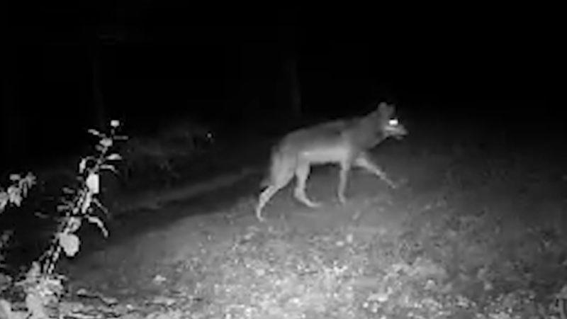 Hier kommt der Wolf (Foto: SAT.1 NRW)