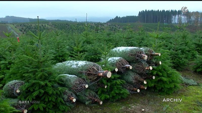Weihnachtsbaum-Saison beginnt (Foto: SAT.1 NRW)
