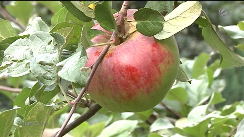 Apfelernte in NRW eingebrochen (Foto: SAT.1 NRW)