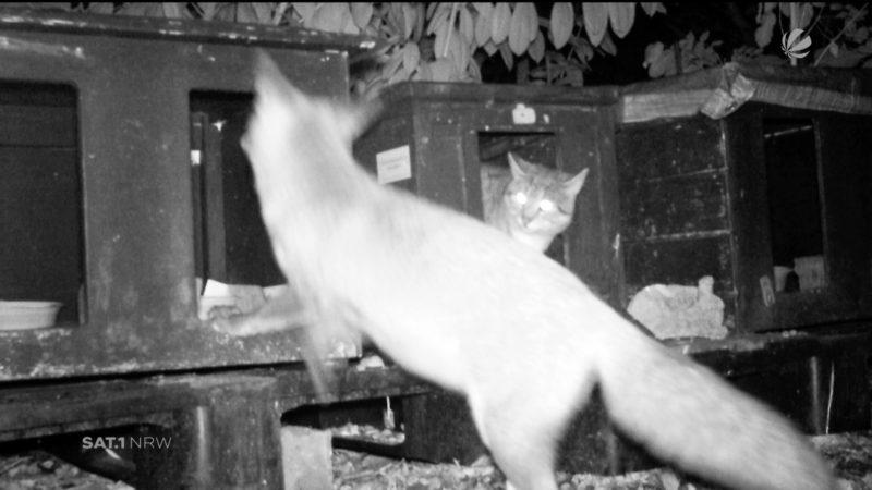 Fuchs als Dieb enttarnt (Foto: SAT.1 NRW)
