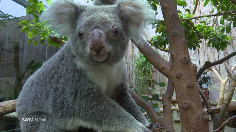 Leverkusener rettet australische Koalas (Foto: SAT.1 NRW)