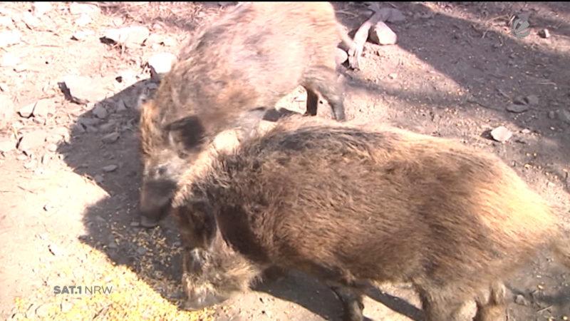 Wildschweine verwüsten Wohngebiet (Foto: SAT.1 NRW)
